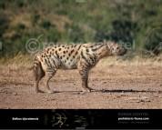 Belbus djurabensis