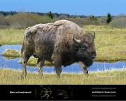 Pleistocene woodland bison