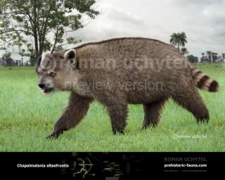 Giant Raccoon (Chapalmalania altaefrontis)