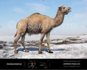 Camelops hesternus