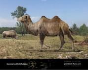 Camelus knoblochi