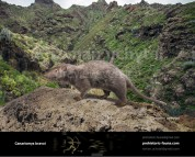 Tenerife giant rat