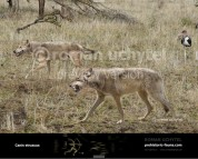 Etruscan wolf  (Canis etruscus)