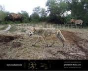 Mosbach wolf