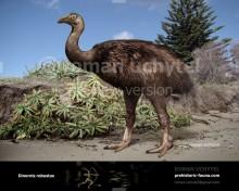 Dinornis robustus