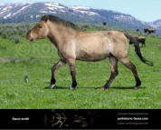 Equus scotti
