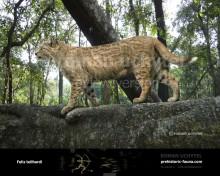 Пантера северных лесов (3)