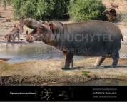 European hippopotamus
