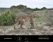 Пантера северных лесов (2)