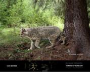 Пантера северных лесов (4)