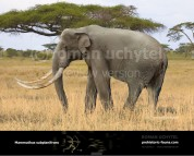 African mammoth