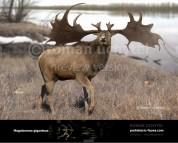 Irish elk (old version)