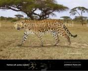 Гипотетическая эволюционная история Panthera pardus (часть 1)