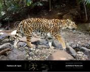 Panthera aff. tigris