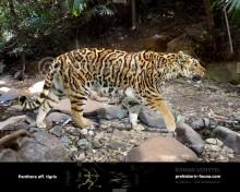 EVOLUTIONARY HISTORY Panthera tigris
