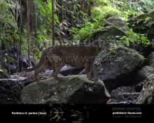 Гипотетическая эволюционная история Panthera pardus (часть 4)