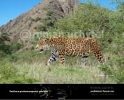 Panthera gombaszoegensis georgica