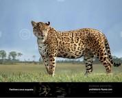 Pleistocene North American jaguar (Panthera onca augusta)