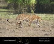 Гипотетическая эволюционная история Panthera pardus (часть 2)
