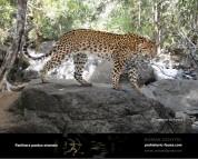 Гипотетическая эволюционная история Panthera pardus (часть 3)