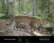 Гипотетическая эволюционная история Panthera pardus (часть 5)