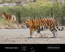 Caspian tiger (Panthera tigris virgata)