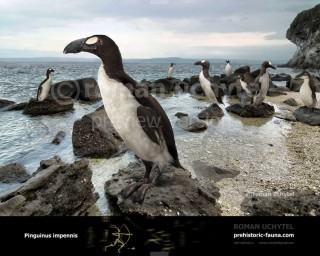 Pinguinus impennis, Alca impennis, Great Auk