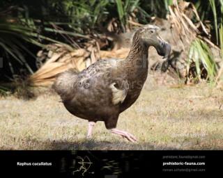 Dodo (Raphus cucullatus)