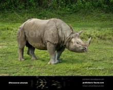 Rhinoceros sinensis