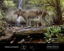 Thylacinus cynocephalus (Tasmanian wolf, Tasmanian tiger)