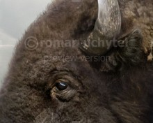 Bison antiquus (Ancient bison)
