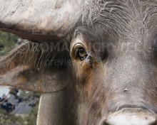 European water buffalo