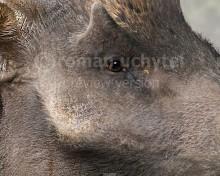 Megalochoerus