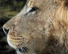 Natodomeri lion