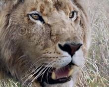 Mosbach lion (Panthera leo fossilis)