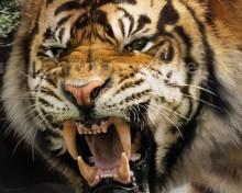 Ngandong Tiger (Panthera tigris soloensis)