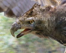 Malagasy crowned eagle