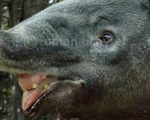 Tapirus augustus