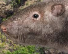 Tenerife giant rat