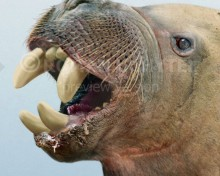 Gomphotaria pugnax
