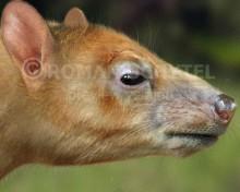 Juchuysillu arenalesensis