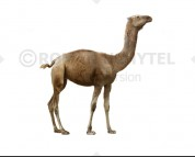 Aepycamelus (white background)
