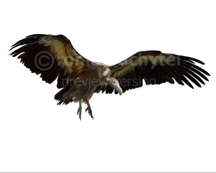 Aiolornis (Teratornis) incredibilis  (white background)