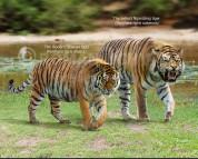 Panthera tigris altaica and Panthera tigris soloensis (size comparison)