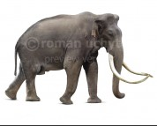 Southern mammoth (white background)