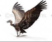Argentavis (white background)