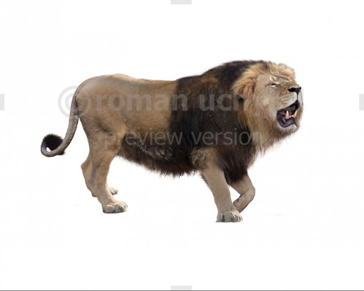 Barbary lion (white background)