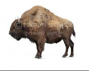 Bison antiquus (white background)