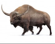 Bison latifrons (white background)