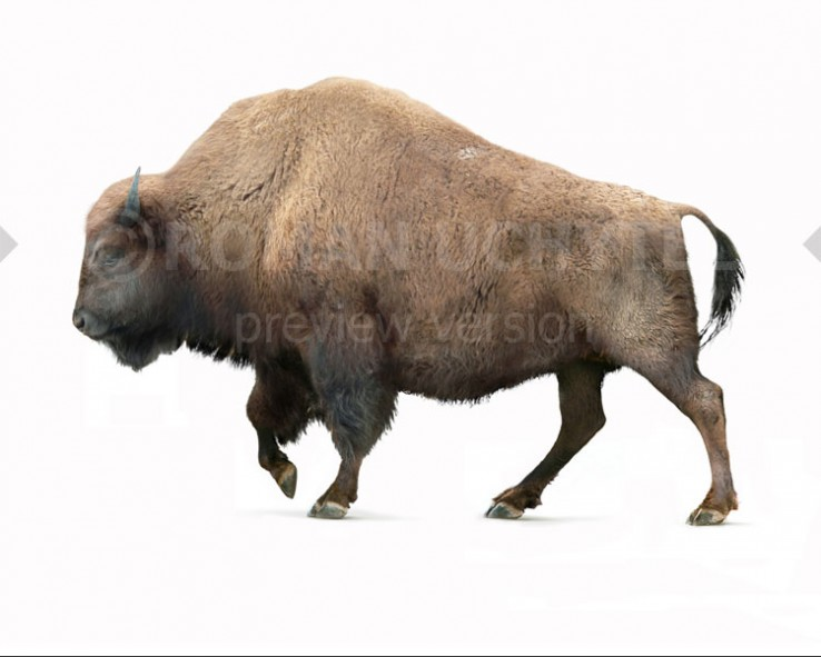 Bison occidentalis (white background)